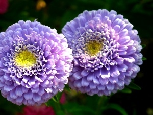 Aster, nature, Colourfull Flowers