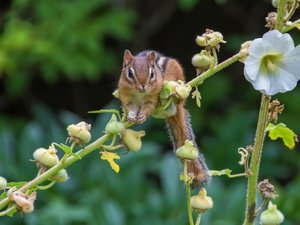 Chipmunk, Colourfull Flowers, mallow, twig