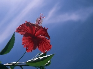 hibiskus, Red, Colourfull Flowers