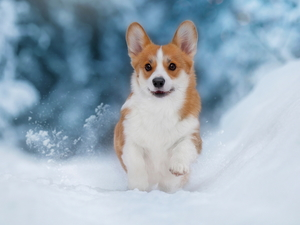 Welsh corgi pembroke, dog, snow