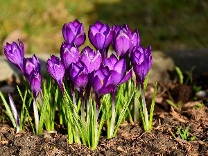 purple, crocuses