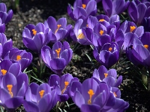 crocuses, Flowers, purple