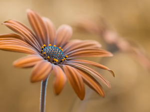African Daisy, Colourfull Flowers, Orange