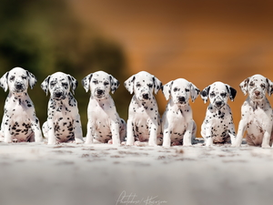 Dalmatians, Dogs, puppies