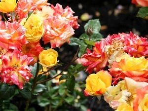 Different colored, roses