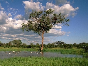 ducks, Sky, trees, viewes, Pond - car