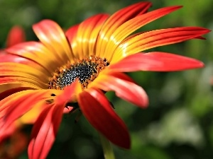Orange, Gerbera, flakes, Flower