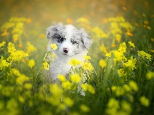 Puppy, Meadow, Flowers, Border Collie
