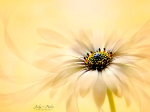 Close, blur, Colourfull Flowers, African Daisy, Yellow