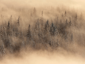 Spruces, Fog, trees, viewes, winter