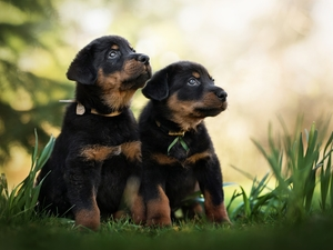 Two cars, Shepherd French Beauceron, grass, puppies