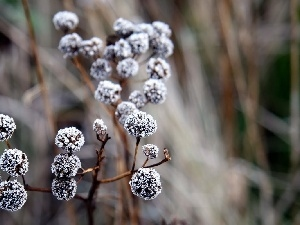 Plants, winter, White frost