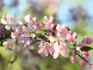 flowery, twig, Flowers, Fruit Tree, Pink