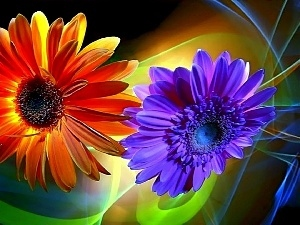 color, gerberas