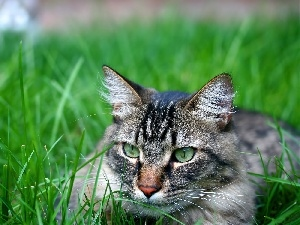 Gray, ##, grass, cat