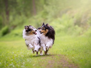 stretching, Dogs, car in the meadow, grass, Shetland Sheepdogs, Two cars