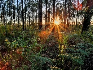 fern, trees, rays, viewes, forest, grass, sun