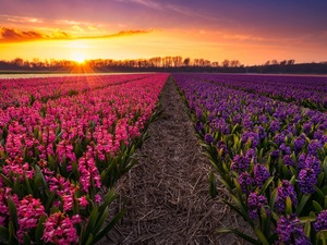 Hyacinths, Field, viewes, Great Sunsets, trees, plantation