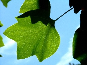 leaves, Sky, green ones
