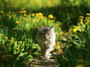 green, Path, Meadow, dandelion, cat