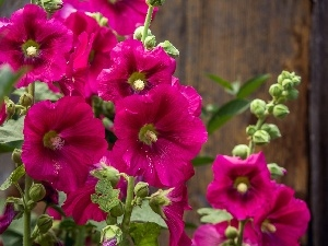 Purple, Hollyhocks