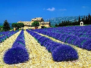 house, Field, lavender