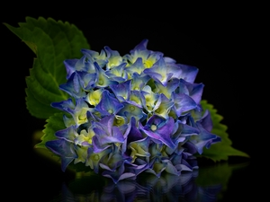 Leaf, Dark Background, hydrangea, Blue, Colourfull Flowers