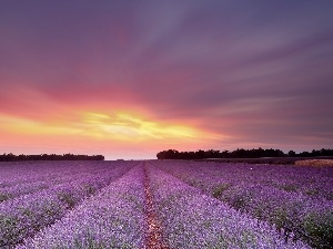 Great Sunsets, Field, lavender