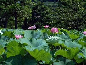 Colourfull Flowers, Big, Leaf, lotus