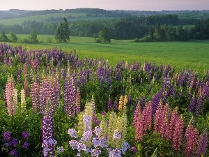 lupine, forest, Meadow