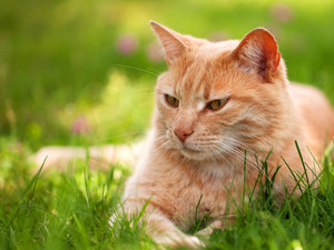 ginger, cat, grass, lying