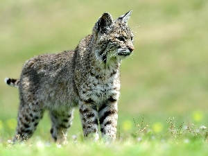 young, Lynx