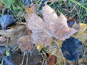 White frost, Leaf, maple