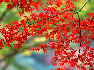 branch pics, Red, maple, Leaf