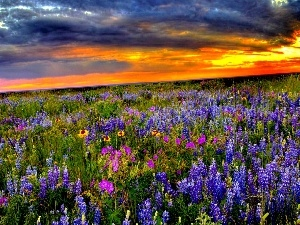 lupine, Great Sunsets, Meadow