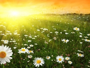 daisy, Great Sunsets, Meadow