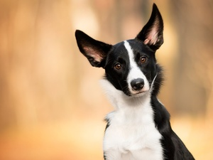 dog, Border Collie, muzzle, White and Black