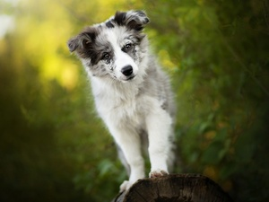 dog, Border Collie, muzzle, Puppy