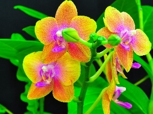orchids, color, Flowers
