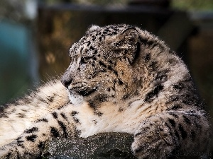 snow, snow leopard, Panther