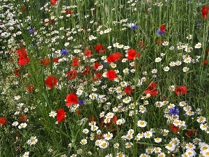 Meadow, cornflowers, papavers, Flowers