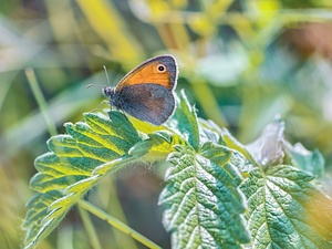 butterfly, plant, Leaf, Coenonympha Pamphilus