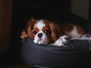 Cavalier King Charles spaniel, Pouf
