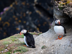 birds, Puffins, Rocks, Two cars