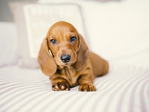 dog, honeyed, Puppy, Dachshund Shorthair
