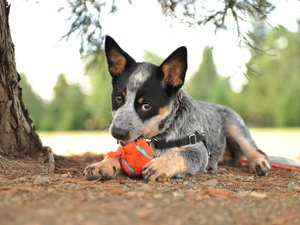 Australian cattle dog, dog, braces, trees, Ball, Puppy