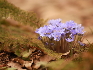 Liverworts, Flowers, cluster, purple