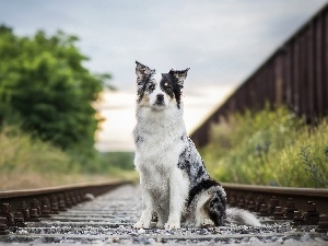 sitter, ##, railway, Border Collie