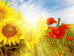 rays, sun, papavers, Meadow, Nice sunflowers
