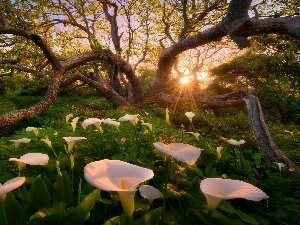 trees, Calla, rays, sun, viewes, forest